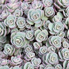grey ground cover plant - Google Search