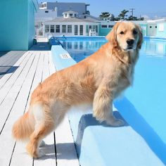 Astonishing Everything You Ever Wanted to Know about Golden Retrievers Ideas. Glorious Everything You Ever Wanted to Know about Golden Retrievers Ideas. Perros Golden Retriever, Golden Retriever Rescue, Golden Retrievers, Labrador Retriever, I Love Dogs, Cute Dogs, Dog Rates, Service Dogs, Dog Life