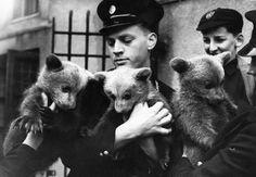 Tre orsi nati allo zoo di Londra sono presentati per la prima volta al pubblico nell'aprile del 1951 (Topical Press Agency/Getty Images)