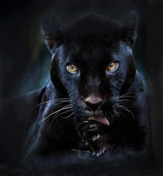 A black panther is typically a melanistic color variant of any of several species of larger cat. In Latin America, wild 'black panthers' may be black jaguars; in Asia and Africa, black leopards ; Big Cats, Cool Cats, Cats And Kittens, Siamese Cats, Black Panthers, Black Tigers, Beautiful Cats, Animals Beautiful, Beautiful Creatures
