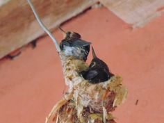 Hummingbirds were born at my door. The first almost ready to leave, the second wants to go too - Pic V