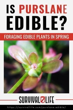 Is purslane edible? Since this is a common weed, you'll most likely see it when you're out foraging. But for beginner foragers, it can easily be mistaken with other weeds. Well, to take the guesswork out of it, here is everything you need to know. #purslane #edibleplant #survivalfood #survival #preparedness #gunassociation Survival Life, Survival Food, Wilderness Survival, Survival Skills, Purslane Plant, Edible Plants, Growing Flowers, Types Of Plants, Green Plants