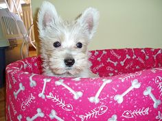 There is NOTHING cuter than a Westie puppy (unless it's a Westie puppy in a PINK dog bed). Westie Puppies, Westies, Cute Puppies, Pink Dog Beds, Baby Animals, Cute Animals, Cutest Dog Ever, West Highland Terrier, Puppy Face