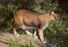African Golden Cat - A poorly studied cat, and infrequently observed in the wild, The African Golden Cat  is a medium-sized wild cat distributed over the rainforests of West and Central Africa. There are no confirmed sightings/records from The Gambia and Guinea Bissau, nor from Togo and Benin. Despite its name, its fur color is variable (golden-chestnut to dark slate-grey) and it can be either spotted or not.  This small wild cat is listed as near threatened. (Photographer Terry Whittaker)