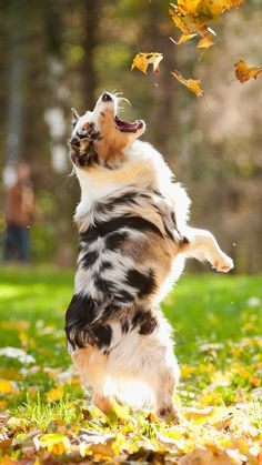 AUSTRALIAN SHEPHERD....a herding dog....affectionate, alert, energetic, independent, intelligent, loving, loyal, protective, responsive....20-23 inches tall....50-65 pounds....moderate shedding....low drooling....good with kids and other pets #australianshepherd