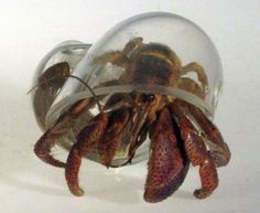Glass Blown Hermit Crab Shells : Hermit crabs are known for their adorable housing habits. The blown glass shells allow for a rare view of the crabs' soft bodies, which are normally hidden inside their mobile homes. $14.50 US.