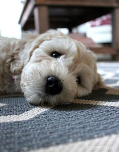 #labradoodle #dogs #cute