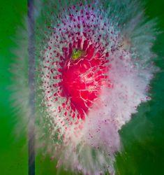 Amazing photography of exploding foods ~ Radish Hash by alan_sailer, via Flickr