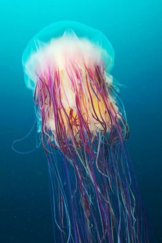 Lion's Mane Jellyfish: I would love this as a tattoo!!!