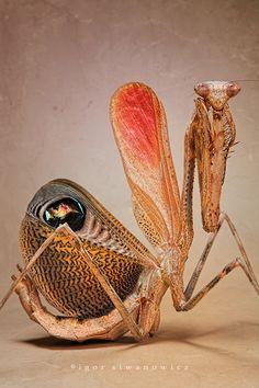 defensive deimatic display of Pseudempusa pinnapavonis. by *Blepharopsis
