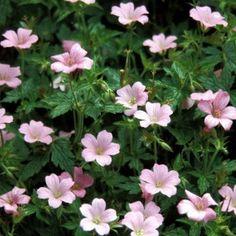 Storkenæb (Geranium endresii 'Rose Clair') Good around a tree Outdoor Life, Outdoor Gardens, Landscaping Tips, Garden Inspiration, Garden Ideas, Rose, Planters, Backyard, Landscape