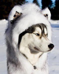 Does this make me look like a husky? Thanks for all the Does this make me look like a husky? Thanks for all the HUSKY Siberian Husky Training, Siberian Husky Facts, White Siberian Husky, Siberian Husky Puppies, Siberian Huskies, Husky Puppy, Husky Mignon, Husky Dog Names, Alaskan Husky