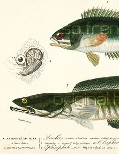 1861 Poissons Anabas et Ophicéphale Orbigny Original Vie des océans Mers Vie sous-marine Pêche Collection encadrement