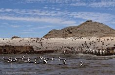 Halifax Island: Halifax Island in southern Namibia, home to about 6,000 African penguins.