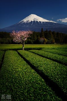 Mt. Fuji and Green Tea Farm, Shizuoka, Japan...  My kind of heaven! I'd love to visit one day:)