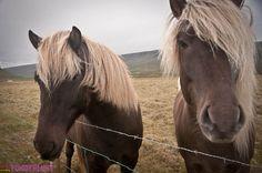 The very adorable Icelandic horses.