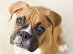 I got: Boxer! What dog breed are you?