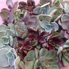 This mix includes a variety of rosette-shaped Echeveria. Echeveria cuttings look great in wedding bouquets, floral arrangements, centerpieces or in your next c Buy Succulents Online, Succulents Garden, Planting Flowers, Succulent Cuttings, Succulent Gifts, Succulent Boutonniere, Boutonnieres, Diy Wedding Projects, Wedding Ideas