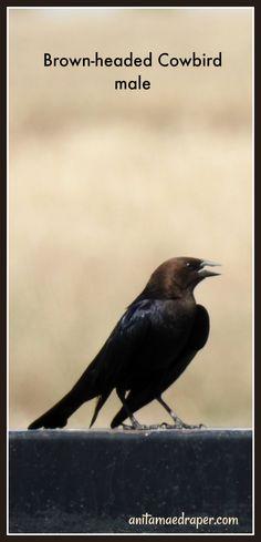 Brown-headed Cowbird male, RM Montmartre, SK, June 2019. Source: Anita Mae Draper Bats, Wildlife, June, Brown, Photos, Animals, Image, Pictures, Animales