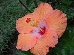 Curious about local Mauritius plants? Read our article on our gorgeous local flora to discover some of our most exotic island beauties. Mauritius Wedding, Silk Painting, Wedding Blog, Planting Flowers, Flora, Exotic, Tropical, Rose, Plants