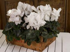 Cyclaam Scholten Pastel from Holland! Small Flowers, Holland, Bulb, Pastel, Garden, Plants, The Nederlands, Cake, Garten