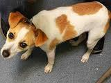 TO BE DESTROYED 11/17/14-Brooklyn Center  KING - A1020411  MALE, WHITE / TAN, JACK RUSS TERR MIX, 8 mos STRAY - STRAY WAIT, NO HOLD Reason ABANDON