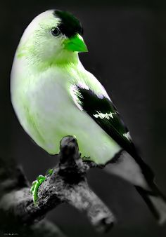 ...A FINCH OF SOME SORT? LOVELY GREEN BEAK<3<3<3