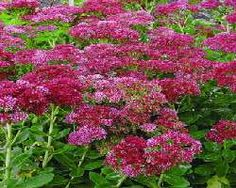 Sedum - spectabile Autumn Fire