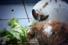 Kaninchenfan Lucky - Mein Kaninchenloch: Lunch time ♡ But Lucky is missing again ^_~  #kaninchen #hasen #rabbits #pets #haustiere  kaninchenfanlucky-meinkaninchenloch.blogspot.de/2014/05/lunch-time-but-lucky-is-missing-again.html