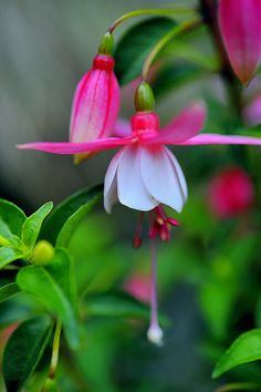 Red and white fuchsia ~