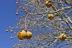 California Buckeye in the Fall by David Clendenen on Capture Kern County // Fruits of the California buckeye tree, ready to drop.