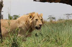 Lion, Ngorongoro Crater Conservation Area, Tanzania