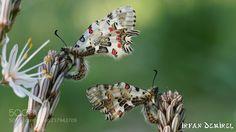 Zerynthia cerisyi (İrfan Demirel / karşıyaka / Türkiye) #SLT-A57 #macro #photo #insect #nature