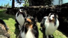 Would you jump at the chance to extend the life of your beloved dog? To discover how, go to http://lovedogs.from.media/go  Shetland Sheepdog.m4v