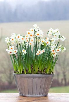 Narcissi 'Cragford' in a pot To buy or not to buy ? :-) Welcome to my gardening blog http://www.facebook.com/flowerindoorgardening #bulb