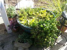 25 Gallon Lotus Bowl - Page 2 Garden Pond, Stems, Lotus, Plants, Drift Wood, Trunks, Lotus Flower, Plant, Lily