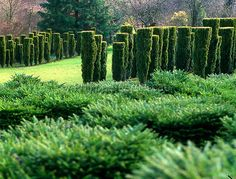 hedge planting of hicks yew