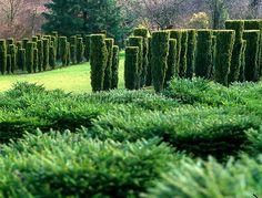 Hedge planting of Hicks Yew