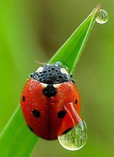 Dew Drop on Ladybug!