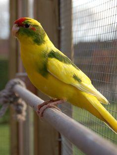 a bird for the mammals section Small Birds, Colorful Birds, Pet Birds, Nature Animals, Zoo Animals, Animals And Pets, Budgies Parrot, Parakeets, Australian Birds