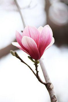 #Magnolia è il simbolo della dignità e della perseveranza #fiori #significati