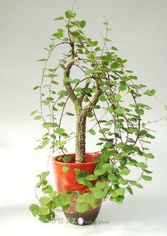 Adenia olaboensis / アデニア オラボエンシス | #plantwishlist, #bonsai, plant training