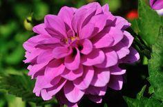 Dahlia, Les fleurs - Philippe Chailland - MonSitePhotos
