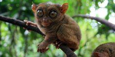 Indonesia memiliki primata terkecil di dunia yaitu Tarsier Pygmy (Tarsius Pumilus) atau disebut juga Tarsier Gunung yang panjangnya hanya 10 cm.