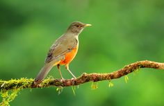 Foto sabiá-laranjeira (Turdus rufiventris) por Renato Paiva Intervales | Wiki Aves - A Enciclopédia das Aves do Brasil