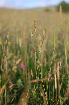 Hannah Nunn: Meadowland #grasses #meadow #nationalmeadowsday #hebdenbridge