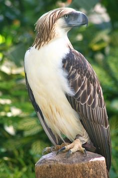 Beautiful wildlife of the Philippines, this is the Philippine Eagle #nature #birdofprey