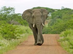 African Elephant Pictures: African Elephant