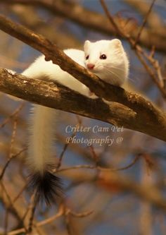 174 best ERMINE IN WINTER- AN ANIMAL WITH 2 COATS images