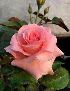 Beautiful Rose Flowers, Pretty Roses, Exotic Flowers, Amazing Flowers, Beautiful Flowers, Rose Pictures, Flower Photos, Orquideas Cymbidium, Foto Rose
